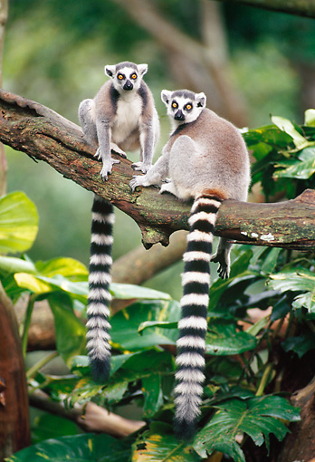 PRM 03 KH0001 01 © Kimball Stock Ring-Tailed Lemurs Sitting On Tree Branch