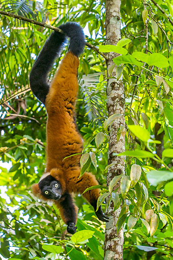 PRM 03 KH0002 01 © Kimball Stock Red Ruffed Lemur Hanging From Tree In Madagascar