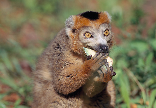 PRM 03 LS0001 01 © Kimball Stock Portrait Of Crowned Lemur Eating Fruit Madagascar