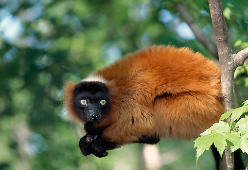 PRM 03 LS0002 01 © Kimball Stock Red Ruffed Lemur Sitting In Tree Madagascar