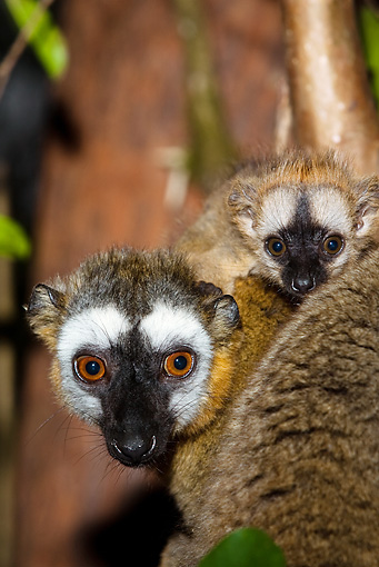 PRM 03 MC0001 01 © Kimball Stock Portrait Of Common Brown Lemur With Young In Tree Madagascar