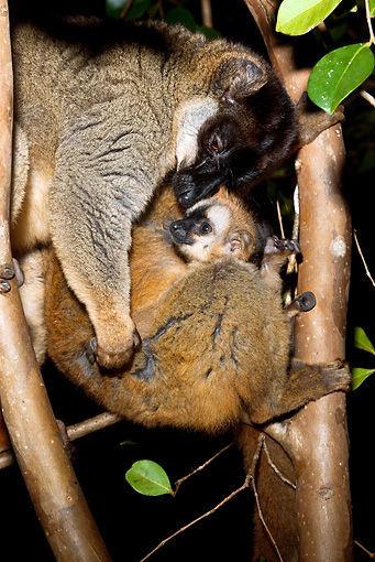 PRM 03 MC0002 01 © Kimball Stock Portrait Of Common Brown Lemur With Young In Tree Madagascar