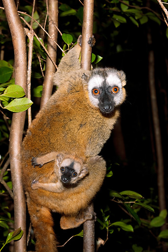 PRM 03 MC0003 01 © Kimball Stock Portrait Of Common Brown Lemur With Young In Tree Madagascar