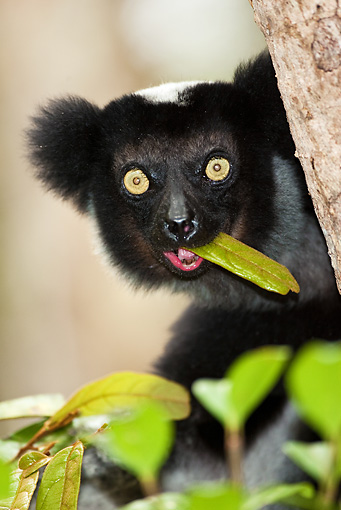 PRM 03 MC0004 01 © Kimball Stock Portrait Of Indri Lemur Eating In Tree Madagascar
