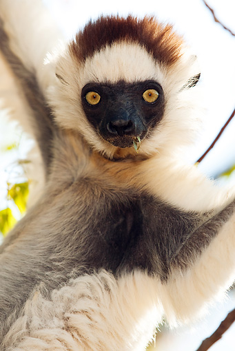 PRM 03 MC0005 01 © Kimball Stock Portrait Of Verreaux's Sifaka Hanging In Tree Madagascar