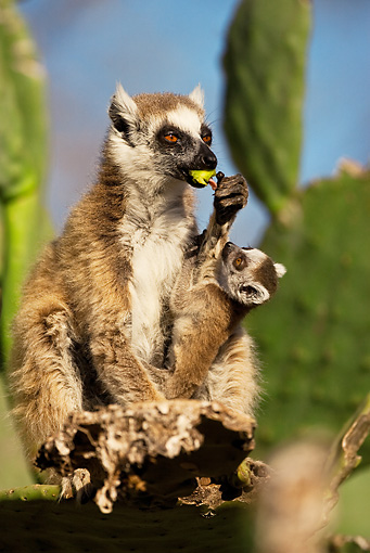 PRM 03 MC0006 01 © Kimball Stock Ring-Tailed Lemur With Young Eating Madagascar