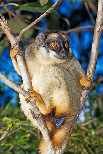 PRM 03 MH0003 01 © Kimball Stock Close Up Of Common Brown Lemur Hanging On Tree Branch