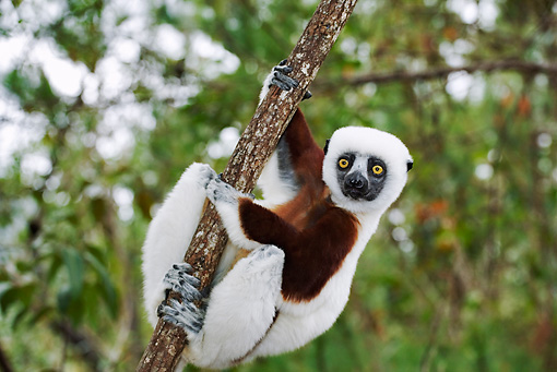 PRM 03 MH0004 01 © Kimball Stock Close Up Of Coquerel's Sifaka Hanging From Tree Branch