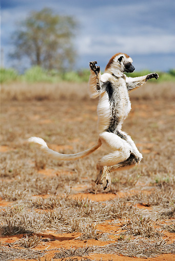PRM 03 MH0007 01 © Kimball Stock Verreaux's Sifaka Hopping In Field
