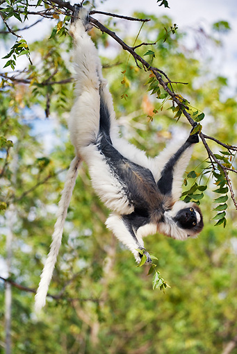 PRM 03 MH0009 01 © Kimball Stock Verreaux's Sifaka Hanging Upside Down From Tree Branch