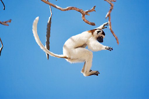 PRM 03 MH0010 01 © Kimball Stock Verreaux's Sifaka Leaping From Tree Branch