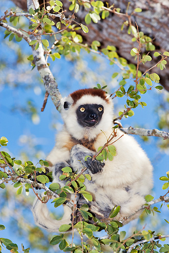 PRM 03 MH0011 01 © Kimball Stock Close Up Of Verreaux's Sifaka Hanging On Tree Branch