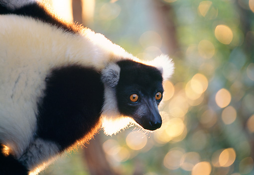 PRM 03 MH0013 01 © Kimball Stock Close-Up Of Black And White Ruffed Lemur In Tree Madagascar