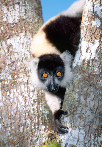PRM 03 MH0014 01 © Kimball Stock Black And White Ruffed Lemur Climbing In Tree Madagascar