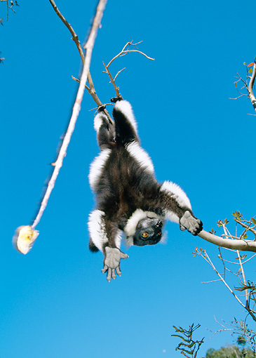 PRM 03 MH0016 01 © Kimball Stock Black And White Ruffed Lemur In Suspensory Feeding Posture Madagascar