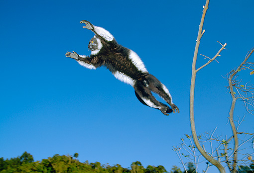 PRM 03 MH0020 01 © Kimball Stock Black And White Ruffed Lemur Leaping Between Trees Madagascar