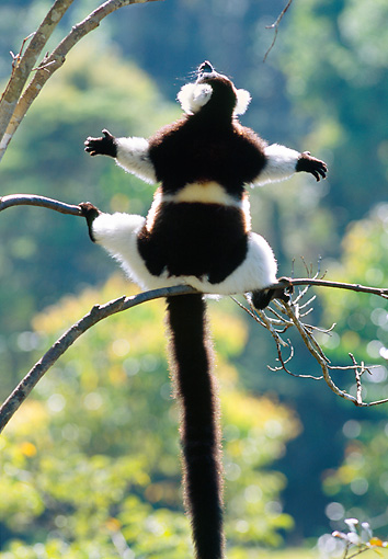 PRM 03 MH0021 01 © Kimball Stock Black And White Ruffed Lemur Sunbathing In Morning Light After Cold Night Madagascar