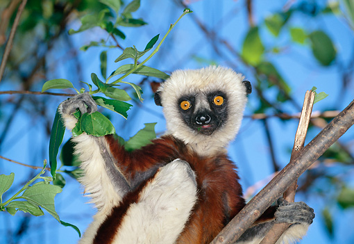 PRM 03 MH0023 01 © Kimball Stock Close-Up Of Coquerel's Sifaka Climbing In Tree Madagascar