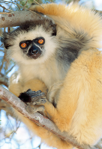 PRM 03 MH0026 01 © Kimball Stock Portrait Of Diademed Sifaka Sitting In Tree Madagascar