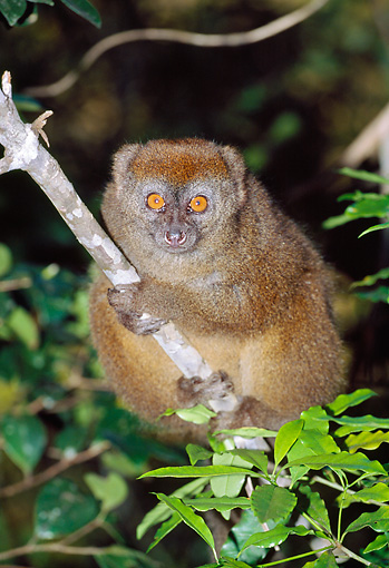 PRM 03 MH0027 01 © Kimball Stock Gray Bamboo Lemur Clinging To Branch Madagascar
