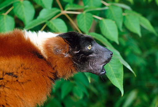 PRM 03 MH0028 01 © Kimball Stock Portrait Of Red Ruffed Lemur Calling In Tree Madagascar