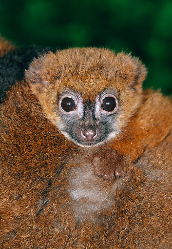 PRM 03 MH0029 01 © Kimball Stock Portrait Of Red-Bellied Lemur Madagascar
