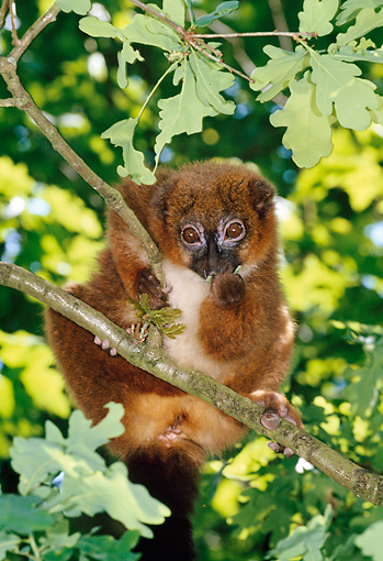 PRM 03 MH0030 01 © Kimball Stock Portrait Of Red-Bellied Lemur Sitting In Tree Madagascar