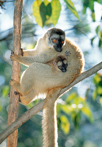 PRM 03 MH0032 01 © Kimball Stock Red-Fronted Brown Lemur Mother Holding Infant In Tree Madagascar