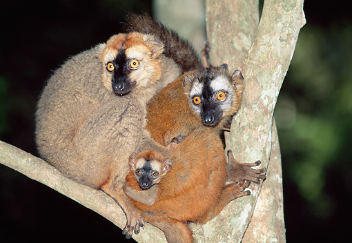 PRM 03 MH0033 01 © Kimball Stock Family Of Red-Fronted Brown Lemurs Sitting In Tree At Night Madagascar