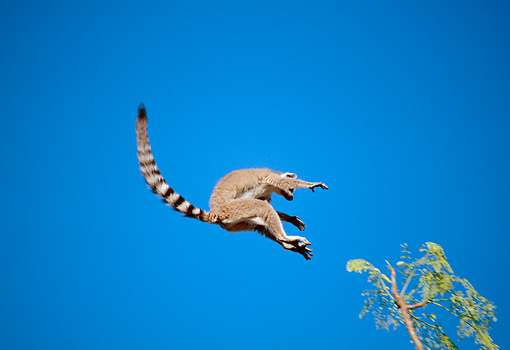 PRM 03 MH0034 01 © Kimball Stock Ring-Tailed Lemur Leaping Between Trees Against Blue Sky Madagascar