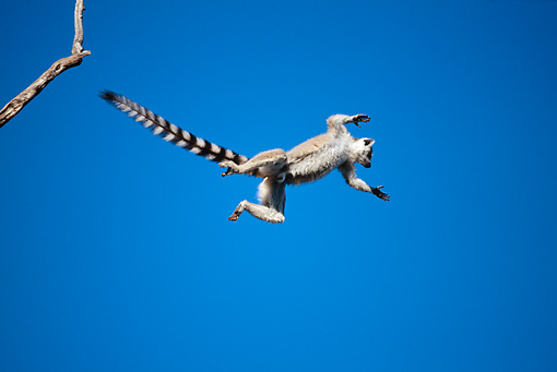 PRM 03 MH0035 01 © Kimball Stock Ring-Tailed Lemur Leaping Between Trees Against Blue Sky Madagascar