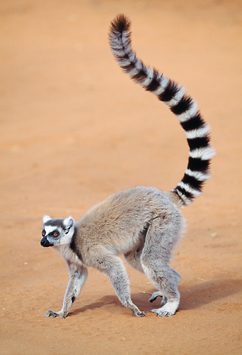 PRM 03 MH0037 01 © Kimball Stock Ring-Tailed Lemur Walking On Sand Madagascar