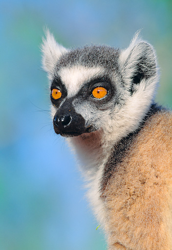 PRM 03 MH0038 01 © Kimball Stock Portrait Of Ring-Tailed Lemur Madagascar
