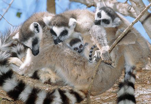 PRM 03 MH0040 01 © Kimball Stock Female And Infant Ring-Tailed Lemurs Resting In Tree Madagascar