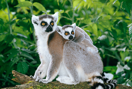 PRM 03 MH0041 01 © Kimball Stock Mother And Baby Ring-Tailed Lemurs Sitting On Log Madagascar