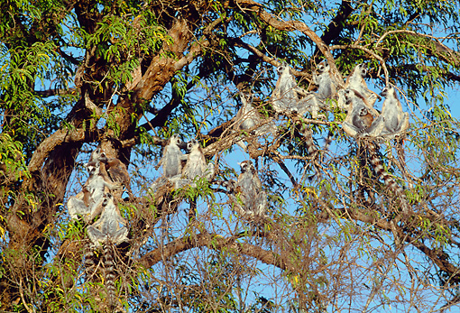 PRM 03 MH0042 01 © Kimball Stock Group Of Ring-Tailed Lemurs Sunning In Tree Madagascar