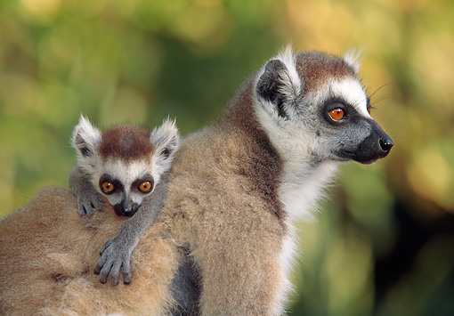 PRM 03 MH0043 01 © Kimball Stock Close-Up Of Mother And Baby Ring-Tailed Lemurs Madagascar