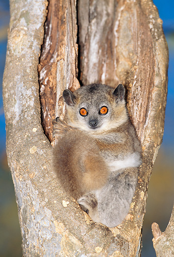 PRM 03 MH0044 01 © Kimball Stock White-Footed Sportive Lemur Sitting By Nest Hole In Tree Madagascar