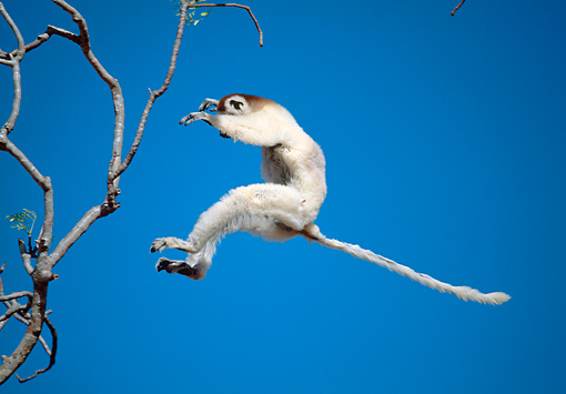 PRM 03 MH0047 01 © Kimball Stock Verreaux's Sifaka Leaping Between Trees Madagascar