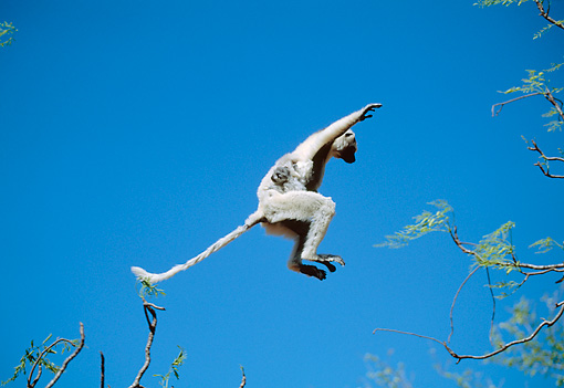 PRM 03 MH0048 01 © Kimball Stock Verreaux's Sifaka Leaping Between Trees With Infant Madagascar