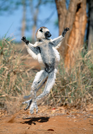 PRM 03 MH0049 01 © Kimball Stock Verreaux's Sifaka Hopping On Sand Madagascar