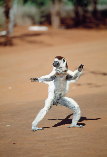 PRM 03 MH0050 01 © Kimball Stock Verreaux's Sifaka Hopping On Sand Madagascar