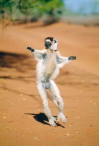 PRM 03 MH0051 01 © Kimball Stock Verreaux's Sifaka Hopping On Sand Madagascar
