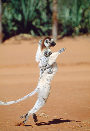 PRM 03 MH0053 01 © Kimball Stock Verreaux's Sifaka Hopping On Sand With Infant Madagascar
