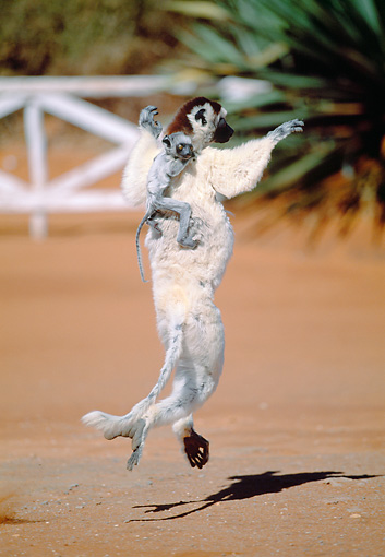 PRM 03 MH0054 01 © Kimball Stock Verreaux's Sifaka Hopping On Sand With Infant Madagascar