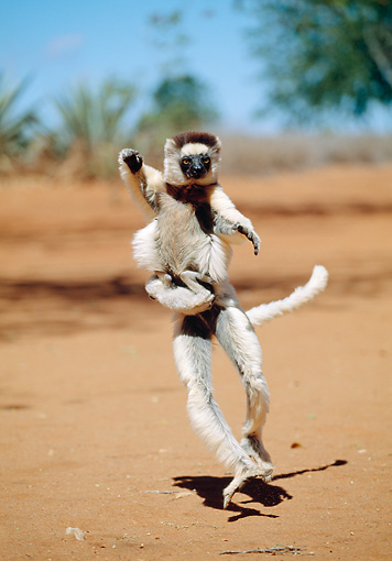 PRM 03 MH0055 01 © Kimball Stock Verreaux's Sifaka Hopping On Sand With Infant Madagascar