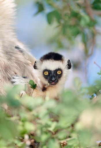 PRM 03 MH0057 01 © Kimball Stock Portrait Of Verreaux's Sifaka Infant Madagascar