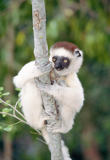 PRM 03 MH0058 01 © Kimball Stock Portrait Of Verreaux's Sifaka Clinging To Tree Madagascar