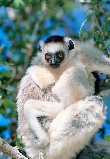 PRM 03 MH0060 01 © Kimball Stock Portrait Of Verreaux's Sifaka With Infant In Tree Madagascar