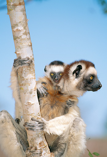 PRM 03 MH0061 01 © Kimball Stock Portrait Of Verreaux's Sifaka With Infant In Tree Madagascar